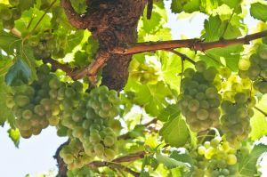 1134584_grapes