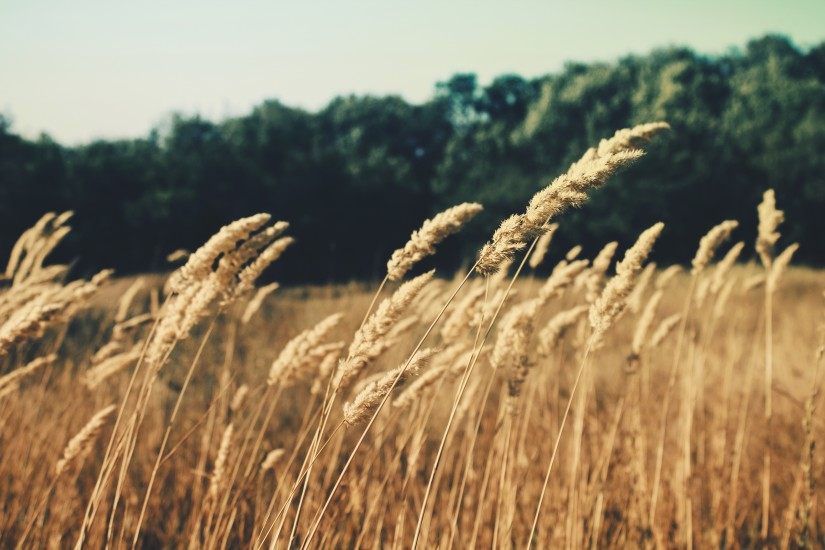 agriculture-cereals-field-621-825x550
